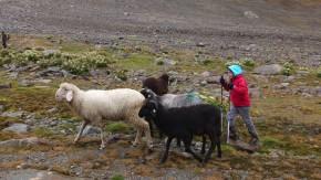 Schafe treiben ist viel spannender als Schäfchen zählen. Und die Kinder sind mit soviel Ernst und Ehrgeiz bei der Sache, als gehe es um Leben und Tod.