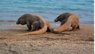 Ein seltener Anblick: Nach dem Essen gehen die Warane gerne ein Runde baden. Meist aber sieht man sie nur faul in der Sonne liegen.