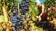 Pinot-Noir-Ernte während des Corona-Sommers
