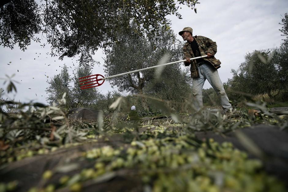 Die Männer holen die Netze aus den Schuppen, beladen den Pritschenwagen mit Säcken, Sägen, Stangen und Stöcken, heuern zwei albanische Hilfskräfte an und fahren hinaus auf die Felder.