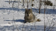 Gleich gibt's Mittagessen: Im Naturpark bekommen die Wölfe Elchgulasch.