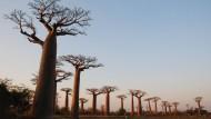 Die Baobab-Allee - der älteste Baum ist über achthundert Jahre alt.