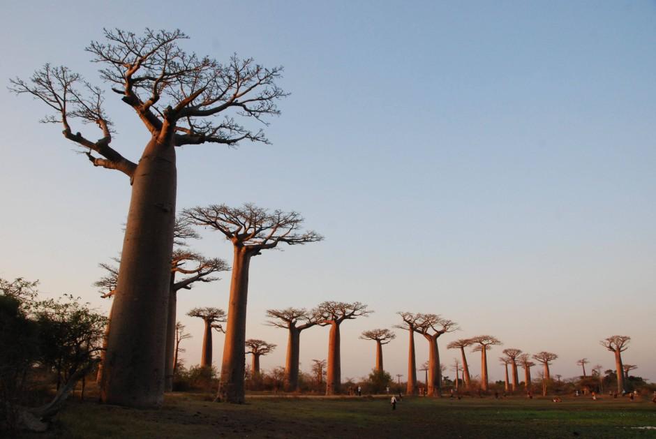 madagaskar und gott strafte den uners ttlichen baobab reise faz. Black Bedroom Furniture Sets. Home Design Ideas
