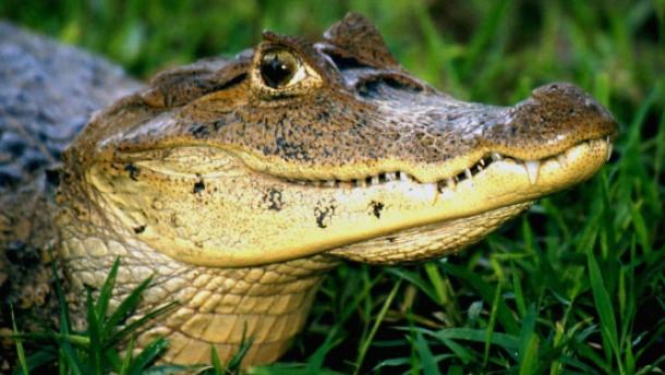 Unterwegs verzaubert in ein Krokodil