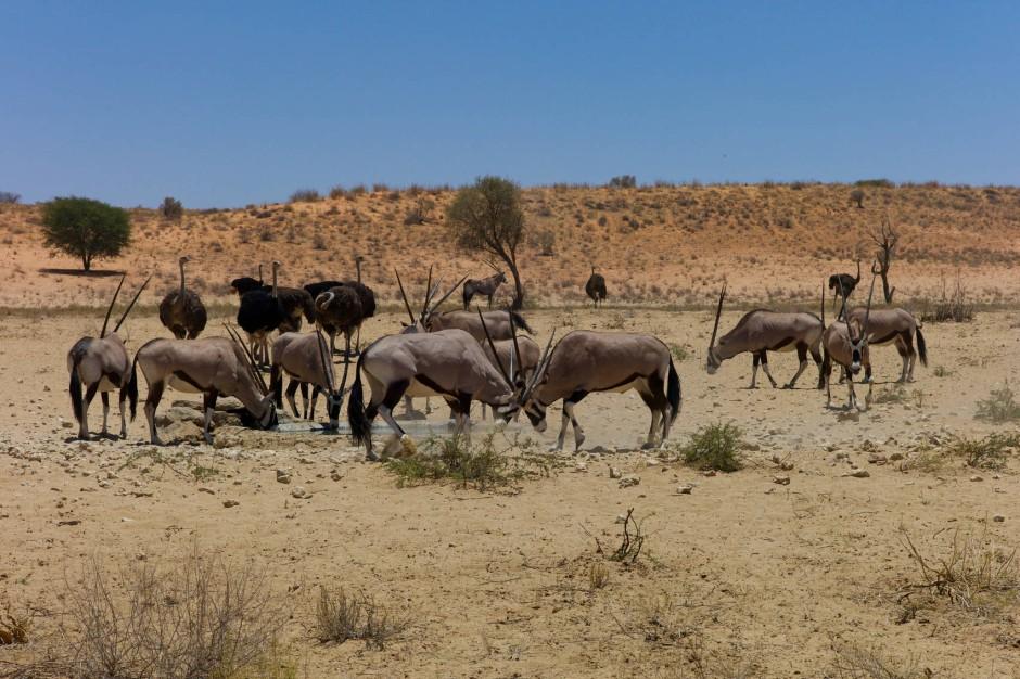 Wasser ist ein seltenes Gut in der Kalahari und ist bei Mensch und Tier hart umkämpft. Grundsätzlich gilt: Löwe vor Oryx-Antilope vor Strauß.
