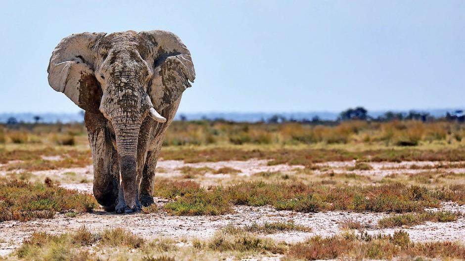 Elefant im Etosha-Nationalpark: Wie viele der Dickhäuter es in Namibia noch gibt, ist unbekannt.