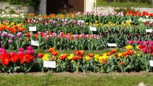 Tausend Tulpen für die Unsterblichkeit