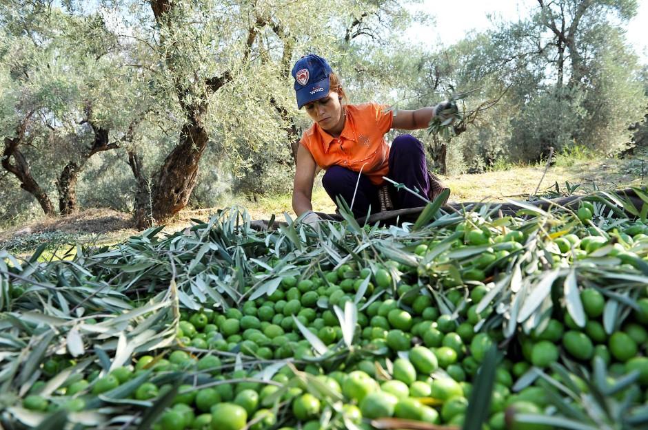 Hinterher sieht der Olivenhain aus, als hätte ein Sturm gewütet. Überall Laub und Berge von Astwerk, im Gras Plastiktüten, leere Wasserflaschen, die Bäume wie verkrüppelt. Doch jede Olive ist gepflückt.