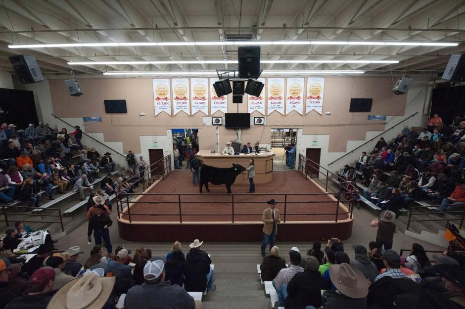 Einst war Denver die Stadt der Viehzüchter und Metropole der Prärie. Das Bild hat sich gewandelt, doch große Viehauktionen gibt es bis heute, etwa die National Western Stock Show.