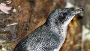 Pinguine auf der Weide