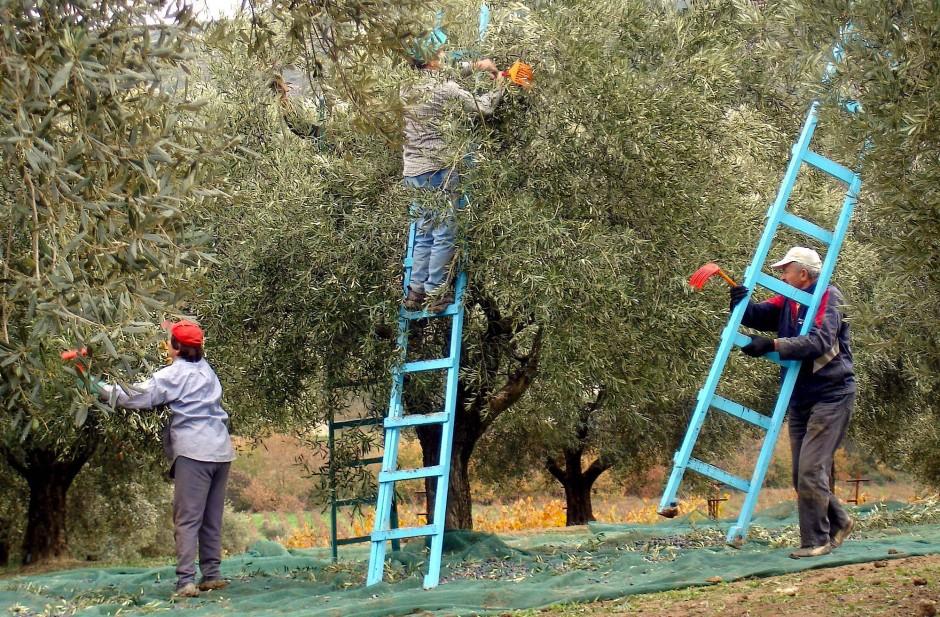 Ganze Familien sitzen unter Bäumen auf grünen Netzen, rutschen auf den Knien, reden, klauben Oliven zusammen.