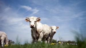 Wer die Kuh am Hals streichelt, hat selten Gutes im Sinn
