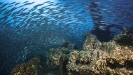 Friedliche Übernahme am Golf von Suez: Korallen und Fische haben das Schiff erobert, das 1941 sank.