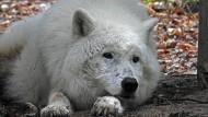 Ruhebedürftig: Das Foto zeigt Wolf Scott an seinem 15. Geburtstag Anfang Mai.