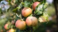 Hessische Kelterer rechnen mit stabiler Apfelernte