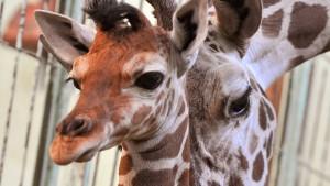 Frankfurter Zoo schläfert Giraffe Chiara ein