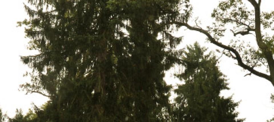 Wann Wurde Der Geschmückte Weihnachtsbaum Populär.Frankfurter Christbaum Nachhaltige Weihnachten Bergen Enkheim
