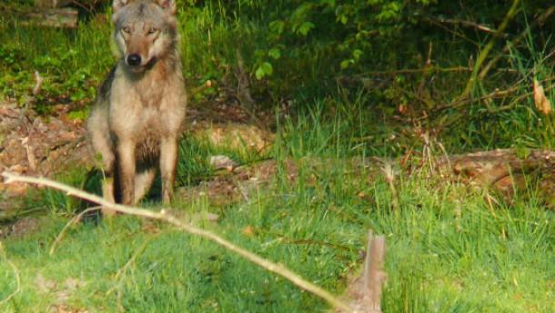 Humpelnder Wolf nahe Gießen gesichtet