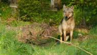 Hessen bereitet sich auf Rückkehr des Wolfs vor