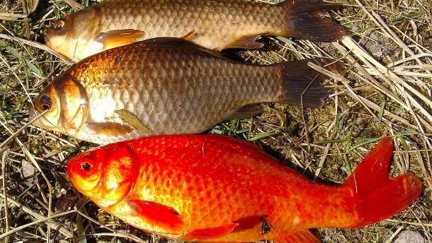 Immer Ärger mit den Goldfischen