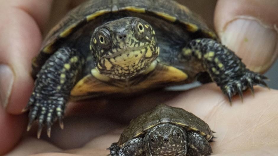 Nachgezüchtet und ausgewildert: Europäischen Sumpfschildkröten
