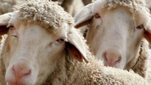 Hessisches Schaf an Scrapie verendet