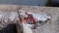 Polizei geht von einer Straftat aus: totes Krokodil von Schlitz