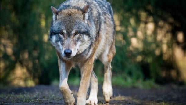 Toter Wolf bei Bad Soden gefunden