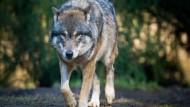 Kommt er bald dauerhaft zurück? Der Wolf, hier in einem Wildpark.