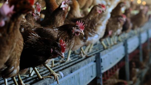 Gering ansteckender Virus der Vogelgrippe im Kreis Stormarn entdeckt