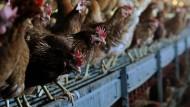 Insgesamt 60 Enten und Hühner seien auf dem Geflügelhof in Nordhessen wegen des Virusbefalls getötet worden, sagte der Landrat