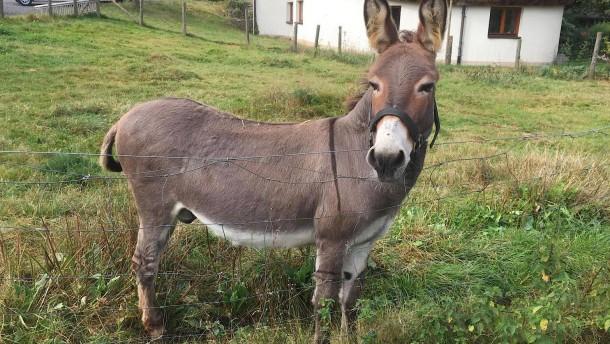 Halter muss zahlen, weil sein Esel einen Sportwagen anknabberte