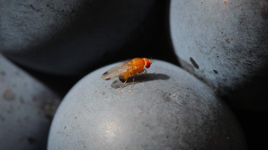 Experte warnt vor einer massenhaften Vermehrung: Kirschessigfliege