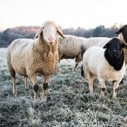 Landschaftspfleger: Schafe auf der Weide