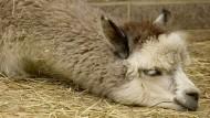 Spatz, pass auf: Ein Alpaka
