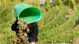Schritt für Schritt zum Mindestlohn für Erntehelfer