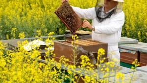Das Aussterben der Imker ist der Honigbiene Tod