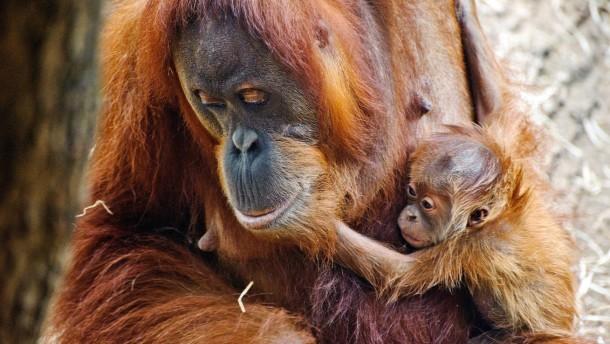 Nachwuchs im Zoo - Orang-Utan-Dame Rosa hat Nachwuchs bekommen. Zoodirektor Manfred Niekisch stellt ihn vor und zeigt außerdem zwei Weißwangen-Gibbon-Männchen, die zu den Orang-Utans umgezogen sind.