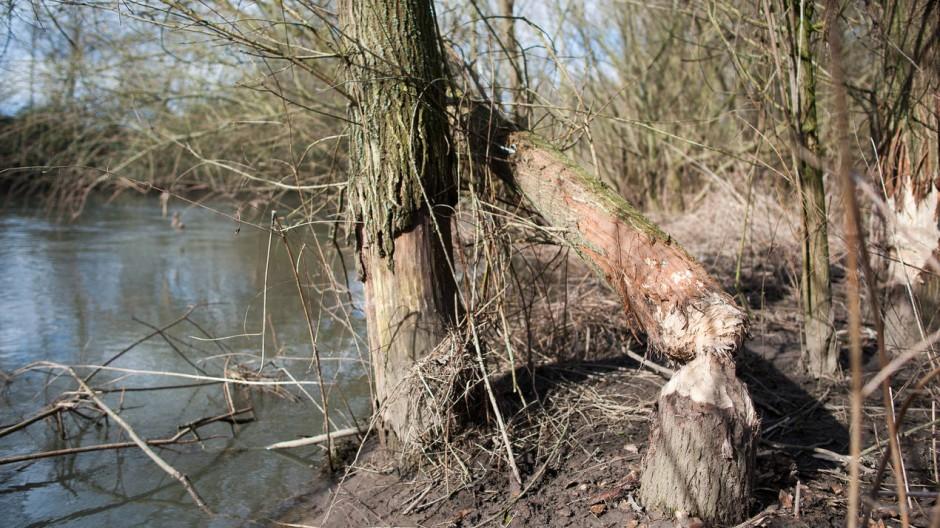Holzfäller auf vier Beinen am Werk: Hier hat ein Biber den Baum umgelegt