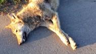 Haase: Es sieht nach Wolf aus