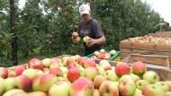 Äpfel mit Macken wandern gleich in die Kelter