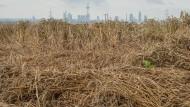 Problemfeld: plattgedrücktes Getreide auf einem Feld bei Oberursel
