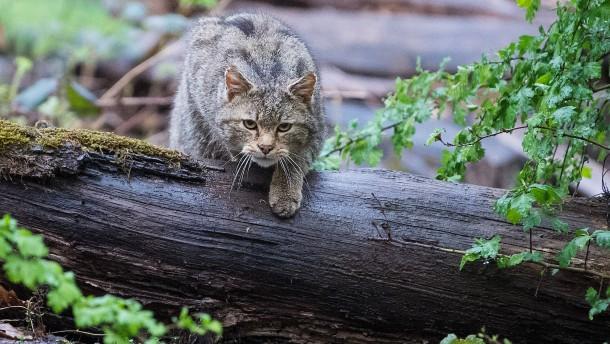 Wildkatzen auf der Spur