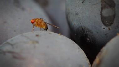 Bedroht nicht nur rote Trauben: Die Kirschessigfliege bohrt auch Beeren aller Art an und legt ihre Eier in ihnen ab - Kälte macht ihr kaum etwas aus