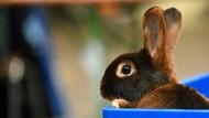Vorerst keine Kaninchenschauen im Wetteraukreis: Wegen einer Tierseuche sind in dem Landkreis viele Tiere gestorben.