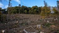 Kahlschlag: Weil Bäume stark geschädigt waren, mussten sie gefällt werden. Jetzt wird neu gepflanzt.