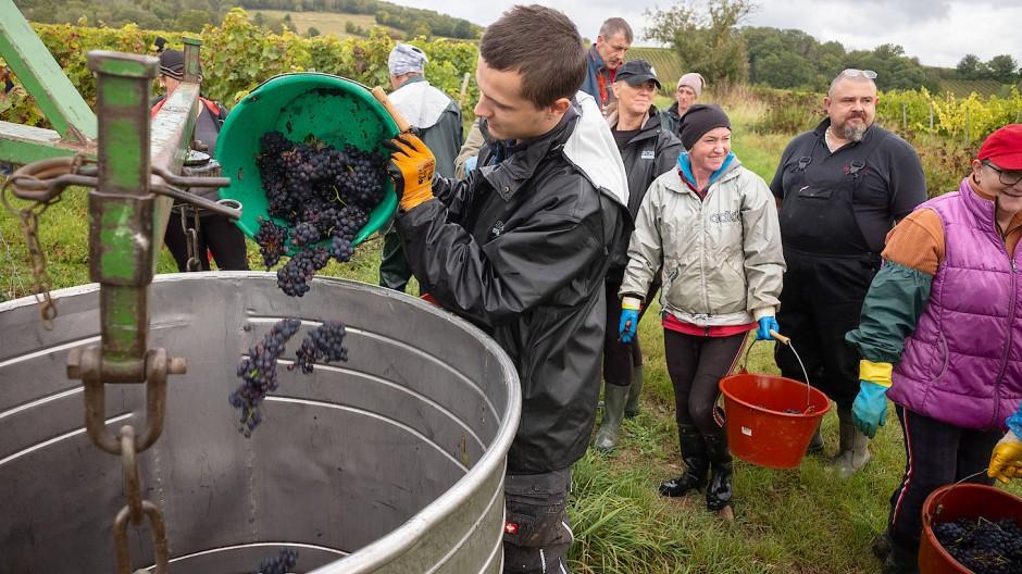 Kein gutes Rotweinjahr: Viele Spätburgunder-Trauben zu Rosé-Weinen verarbeitet.