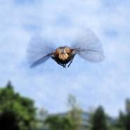 Sommergast: gemeine Fruchtfliege im Anflug