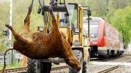Getötet: Wenn eine Kuh vor einen Zug gerät, zieht sie in aller Regel den Kürzeren - so wie dieses Tier hier 2008 nahe Arnstadt oder gerade eine bei Schlüchtern