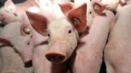 Wie glücklich muss ein Schwein sein?